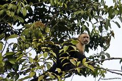 Mono CaraBlanca - White-headed capuchin (2) (pniselba) Tags: rio river monkey mono costarica selva jungle tortuguero capuchin parquenacional monocarablanca carablanca whiteheaded capuchino cebuscapucinus whiteheadedcapuchin parquenacionaltortuguero