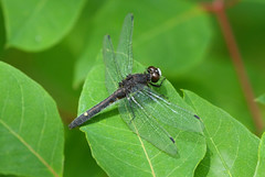 Dot-tailed Whiteface (Up Nort) Tags: summer wisconsin dragonfly mercer leucorrhiniaintacta dottailedwhiteface upnort turtleflambeauflowage erikstabl