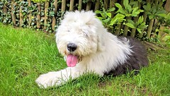 Happy #TOT (pete.coutts) Tags: dog tongue sheepdog tot bobtail mydog oes seena oldenglishsheepdog bobtailpuppy doglove sheepdogpuppy oespuppy tongueouttuesday