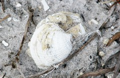 Chione elevata --  Venus clam shell washing out of a sand-bank about three miles inland from the current shore  6496 (Tangled Bank) Tags: from county wild shells beach nature out three venus natural florida clam palm shore about miles inland current washing sandbank 6494 elevata chione