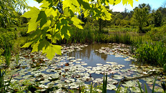 Kenilworth pond (Tim Brown's Pictures) Tags: flowers water gardens nps ne waterlilies