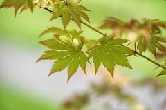 Maple leaves (JPShen) Tags: green leaves leaf maple