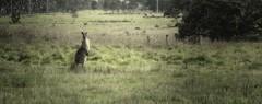 Roo! (Wajahat Mahmood) Tags: kangaroo roo marsupial nikond90 park googlenik melbourne australia redoakspark victoria