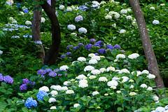 31Yamada Pond Park (anglo10) Tags: flower japan