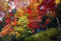 Jikishian001 (vincemarion) Tags: red fall nature japan automne landscape rouge temple maple kyoto autumnleaves momiji japon feuille koyo erable couleurautomnale