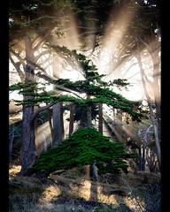 the entrance (sebboh) Tags: sanfrancisco light mist tree landsend cypress rays morining sonynex3 carlzeisscontaxg45mmf2planar