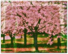 Cherry Blossoms in Full Bloom (patrycehp on the road/ trying to catch up) Tags: soe flickraward heartsaward platinumheartsaward mygearandme mygearandmepremium ringexcellence