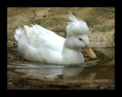 A Tufted-White duck (Annette Rumbelow) Tags: camera duck sony a a550 tuftedwhite annetterumbelow cotswoldwildlifeparkgardens