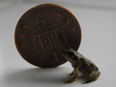 Tiny Common Frog (Toco67) Tags: nature wildlife frogs amphibians