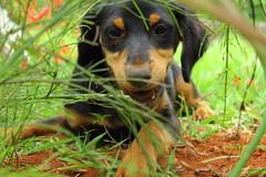 (Alessandra Carreo) Tags: dog puppy mutt earth digging dirty cachorro simba terra filhote sujo cavando