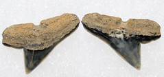 Hammerhead Shark Tooth (Fossiltoothpic) Tags: macro animal animals canon tooth fossil shark teeth paleontology prehistoric extinct fossils hammerhead sharkteeth sharktooth 100mmmacro miocene canoneos7d fossilsharktooth fossiltooth fossilteeth sphyrnalaevissima hammerheadsharktooth
