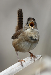 Cistothorus palustris (Marsh Wren) (Nick Dean1) Tags: marshwren cistothoruspalustris spencerisland nspp