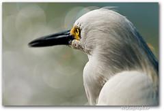 Snowy Egret @ Fort Myers Beach, FL