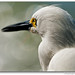 Snowy Egret @ Fort Myers Beach, FL