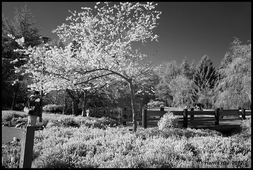 Photographer As Part Of The Scene - IR Cherry Blossoms Minoru Park X0451e