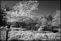 Photographer As Part Of The Scene - IR Cherry Blossoms Minoru Park X0451e (Harris Hui (in search of light)) Tags: park flowers trees bw canada monochrome vancouver cherry reading mono book blackwhite spring fuji photographer bc quote candid blossoms richmond infrared fujifilm cherryblossoms digitalbw minoru pointshoot digitalinfrared x10 candidportrait candidphotography minorupark digitalcompact irbw harrishui vancouverdslrshooter flowerswithoutcolor fujix10 fujixseriescamera leahbenddavidval thebookofphotographynationalgeographic infraredcherryblossoms whatisgreatphotograph