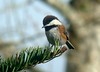 Chestnut-backed Chickadee (artistgal) Tags: bird tag3 taggedout tag2 tag1 dof april chestnutbackedchickadee gamesweepwinner