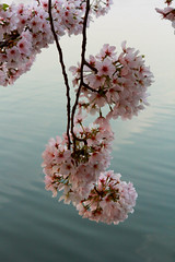 morning cherry blossoms (beverly underwood) Tags: pink flower cherry washingtondc spring jeffersonmemorial tidalbasin