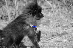 Bear The Wonder Dog (Rebeak) Tags: bear bw dog nature puppy nikon grayscale collar pomeranian selectivecolor rebeak nikond5100 tonerange