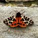 Garden tiger moth NottsWT (cpt Sean Browne)
