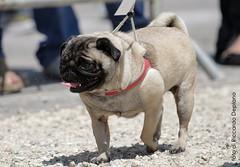Carlino (K0D3X) Tags: sardegna dog cane canon sardinia carlino barumini canoneos400d amicideglianimali riccardodeplano