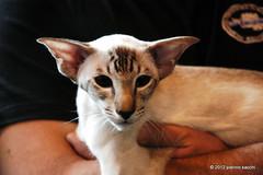I5062341 (pierino sacchi) Tags: mostra cat felini gatto gatti felina pierinosacchi