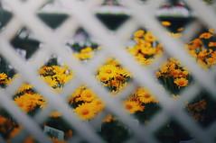 Yellows (Ella Ruth) Tags: flowers orange plants nature fence golden shropshire overcast shrewsbury through colourful crisscross gardencentre heliopsishelianthoides ellaruth