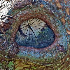The bark eye (Deb Jones1) Tags: trees brown tree texture nature beauty canon garden botanical outdoors flora bark flickawards debjones1