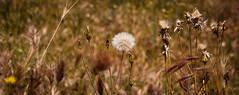 (Hansis y Greta) Tags: naturaleza nature bokeh dreams verano deseo vegetacion dientedeleon cruzadas wihs lamanoamiga