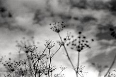 of all the dots and lines that took me higher (Super G) Tags: sky blackandwhite bw clouds 35mm 50mm weeds nikon n80 fennel fujineopan400 selfdeveloped notadoubleexposure d7695mins68d11