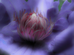 Clematis macro (renee_mcgurk) Tags: chicago flower illinois clematis marco purpleflower rogerspark reneemcgurk