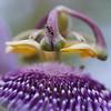 Ant & passion (Solomulala   mostly weekends ;-( !) Tags: macro nature closeup canon ant passiflora hormiga tamron90mm solomulala