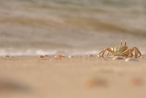 Crabe sur la plage de Saint-Louis du Sénégal