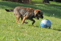 Chewie Border Terrier (exer6) Tags: hairy dog chien paris france nature puppy border terrier chewie campagne chiot chewbacca chasse barbu toutou borderterrier jumpingdog poilu amazingdog exer touffu exer6
