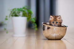 Bowl Cat (torode) Tags: brown plant reflection green cat big eyes kitten steel blueeyes bowl pot daisy flooring mixingbowl narrowdof
