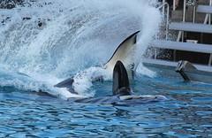 Incoming (Remedy_Kiua) Tags: california sandiego whales orca seaworld killerwhale swc marinemammals