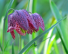 Checkered Lilies (njchow82) Tags: plant flower nature closeup spring bokeh snakeshead reddishpurple guineahenflower checkeredlily readerrockgarden checkereddaffodil frogcup chessflower nancychow canonpowershotsx30is