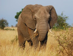 The elephant (anacm.silva) Tags: africa wild elephant nature southafrica mammal nikon wildlife natureza elephants krugernationalpark krugerpark kruger elefante bigfive mamífero áfrica vidaselvagem áfricadosul anasilva nikond40x