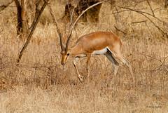 Chinkara/Indian Gazelle (Gazella bennettii) (Hoppy1951) Tags: india male adult gazelle animalplanet rajasthan ranthambhore gazella chinkara naturetrek ranthamborenationalpark ranthambhorenationalpark indiangazelle gazellabennettii justtigersextension allanhopkins