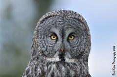 Great Gray Portrait DSC_7415 (Ron Kube Photography) Tags: canada bird nature birds fauna nikon alberta owl greatgrayowl ornithology owls greatgray strixnebulosa southernalberta d300s globalbirdtrekkers ronaldok nikond300s globalbirdtrekkersowl ronkubephotography