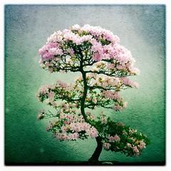 Bonsai azalea...something you don't see very often. (Irene2005) Tags: dc washington bonsai azalea iphone nationalarboretum iphoneography hipstamatic