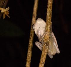 _DSC6503w (Adrian Royle) Tags: travel holiday macro nature nikon asia wildlife amphibian frog sarawak malaysia borneo treefrog bakonationalpark