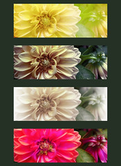 Yellow Dahlias (Digital Lady Syd) Tags: dahlia flowers flower yellowdahlias