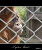 Captive Mind (AFEXPhotography) Tags: photography zoo monkey fuji finepix dorset orangutan ape chimpanzee primate flickrduel s100fs fujifinepixs100fs stswilliams