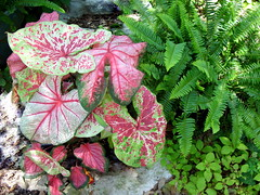 Colorful caladiums in shade garden (pawightm (Patricia)) Tags: austin texas shadegarden centraltexas caladiums maygarden kimberleyqueenferns whitequeencaladium pawightm floridasweetheartcaladium ss856125 raspberrymooncaladium fannymunsoncaladium goldenglobeslysimachia