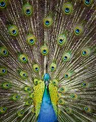 In Full Bloom (Pragmatic1111) Tags: blue green bird animal proud hawaii nikon wildlife sb600 feather peacock pride kauai plumes plumage d700 mygearandme highqualityanimals