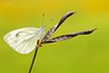 "VITTORIA !!! (Siprico - Silvano) Tags: natura cernuscosulnaviglio naturalistica macrofografia ""macro siprico fotografianaturalistica pricoco silvanopricoco wwwpricocoorg httpwwwpricocoorg wwwfotografiamacrocom fotografiamacrosbuzznbugzcanonsoloreflexmacrofotografiafotografia"