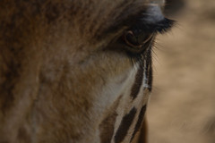 amazing eyelashes (Donna Da Yettta - @work & study) Tags: africa old blue wild portrait sky brown white cute eye nature beautiful face animal sepia vintage mouth hair neck fur mammal nose happy zoo one photo big high funny long pattern head path background wildlife young retro safari ear spotted tall giraffe horn wilderness talking toned isolated speaking clipping herbivore
