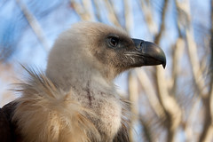 Vulture (feradz) Tags: barcelona portrait bird zoo fierce beak vulture scavenger
