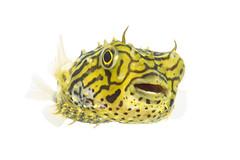 Striped Burrfish (Seth Patterson) Tags: ocean life sea fish gulfofmexico animals marine texas wildlife unitedstatesofamerica northamerica puffer creatures americas southpadreisland myn cameroncounty lagunamadre lowerriograndevalley stripedburrfish chilomycterusschoepfi fieldstudio meetyourneighbours